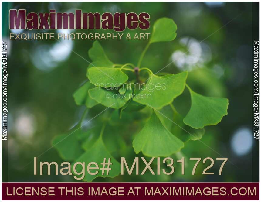 Artistic closeup of green Ginkgo tree leaves