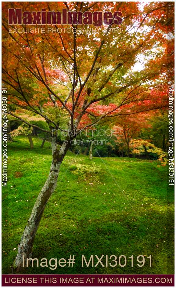 Photo Of Colorful Japanese Maple Tree In A Beautiful Mossy Autumn