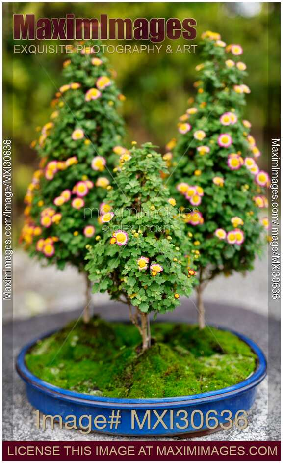 Photo Of Cute Flowering Bonsai Trees In A Japanese Garden Stock