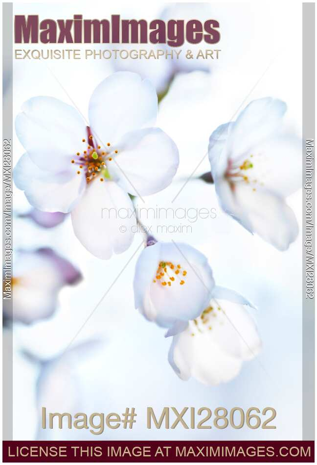 Stock photo of Flowers of Japanese cherry blossom in bright sunlight