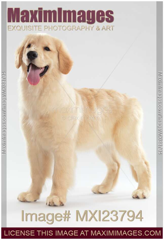 English Print Golden Retriever Puppy Dog Dogs Advertisement Poster Art Picture