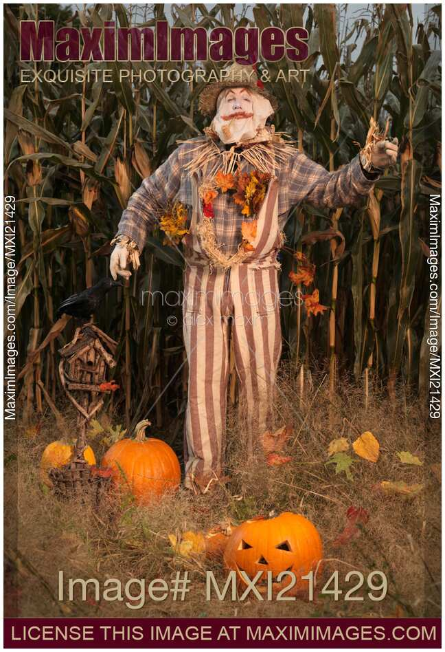 Stock photo of Scarecrow in a Corn Field