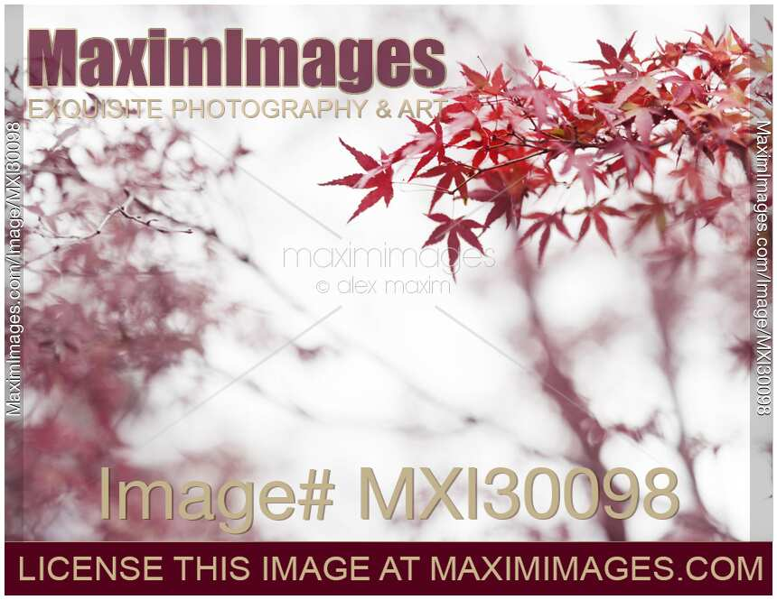 Japanese maple red leaves in autumn mist