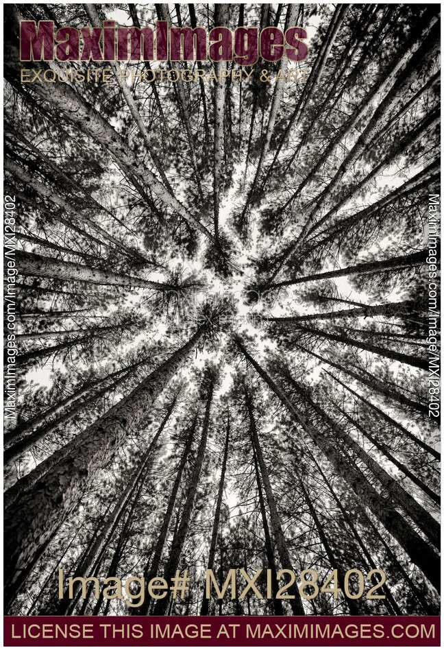 Photo of Pine forest converging tree tops black and white | Stock Image  MXI28402