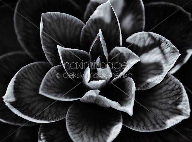 Stock photo of Abstract closeup of a Japanese camellia flower petals contrast black and white detail