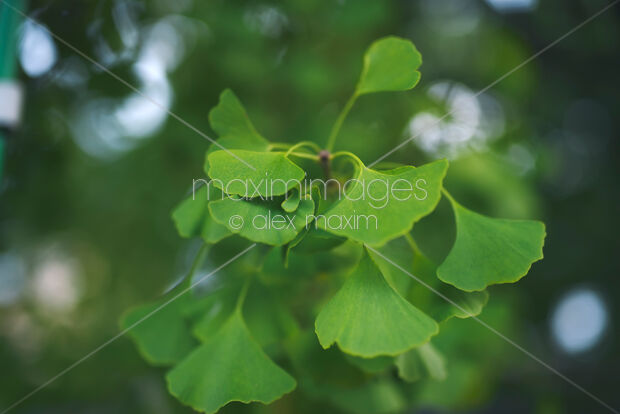 This Rights-Managed stock photo of Artistic closeup of green Ginkgo tree leaves by Alex Maxim, is available for commercial, editorial or personal usage. You can buy a license of this image at MaximImages.com.