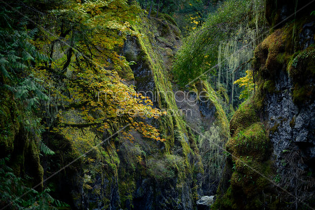 Stock Photo Of Beautiful Fall Nature Scenery Of Mossy Trees And Rocks Vancouver Island Canada Image Mxi29767 At Maximimages Com