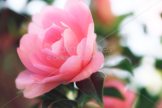 Photo Of Beautiful Pink Flowers Of Camellia Japonica Closeup