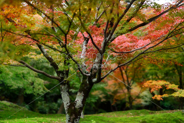 Photo Of Colorful Maple Tree In A Beautiful Autumn Scenery In A