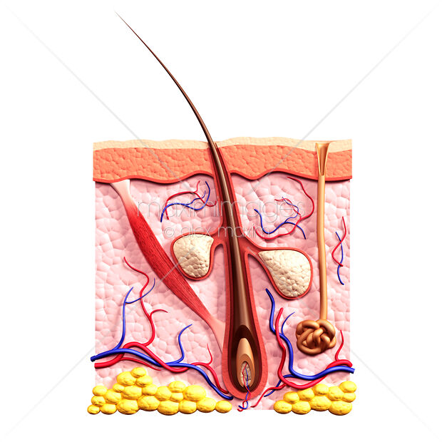 This Royalty-Free stock illustration of Cross section of skin showing hair follicle and sebaceous glands... by Alex Maxim (Oleksiy Maksymenko), is available for commercial and editorial usage. You can buy a license of this image at MaximImages.com.