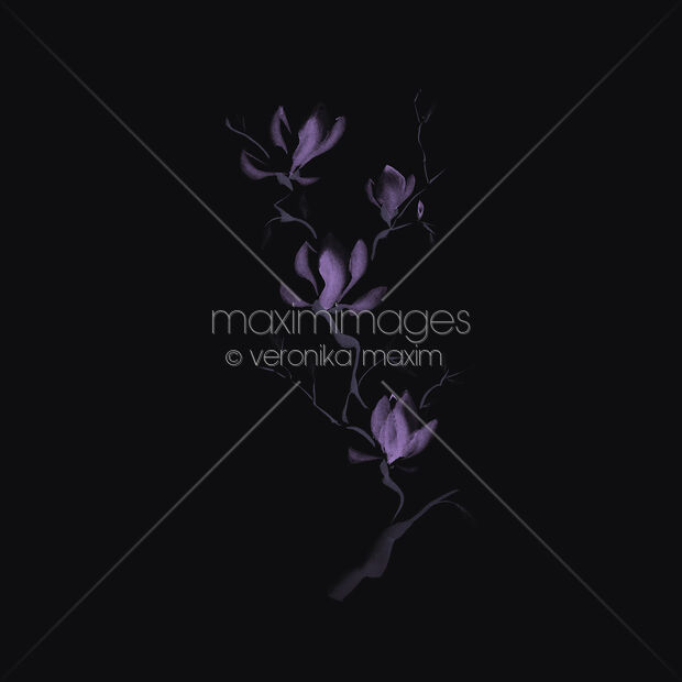 Image Of Elegant Artistic Design Of Magnolia Flowers On A Branch In