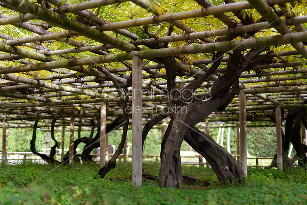 Photo Of Fujidana Wisteria Tree Trellis At Byodo In Uji Stock