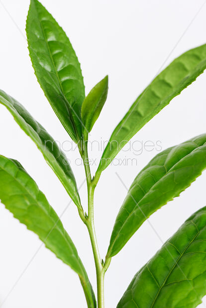 Photo Of Green Tea Leaves Camellia Sinensis Closeup Of Plant Stock Image Mxi32315