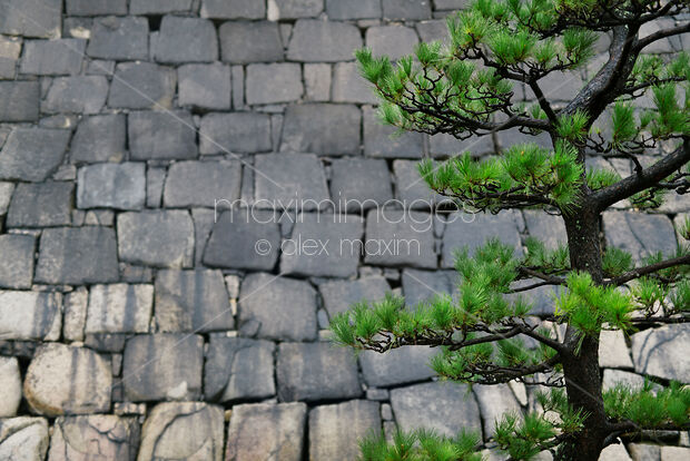 Japanese black pine tree branches on stone wall background