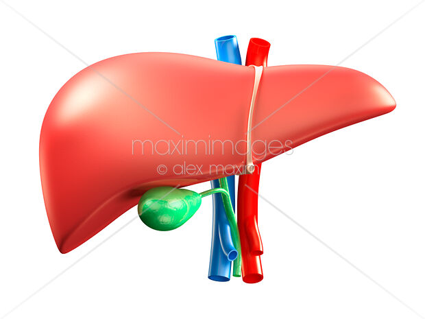 Liver and gall bladder illustration