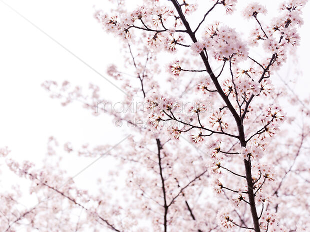 Stock photo of Pink cherry tree blossom artistic closeup