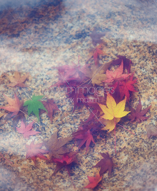 Red autumn Japanese maple leaves in water abstract tranquil background