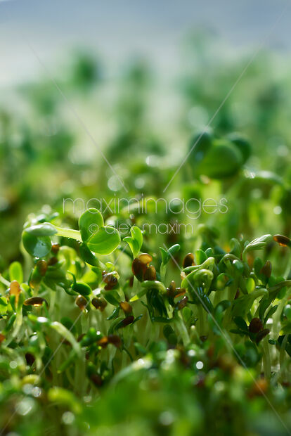 Stock photo of Watercress sprouts closeup under blue sky background