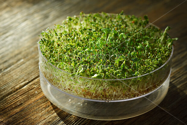 Watercress sprouts in a sprouting tray