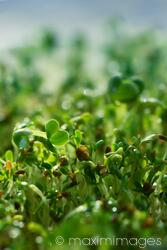 Watercress sprouts closeup under blue sky background